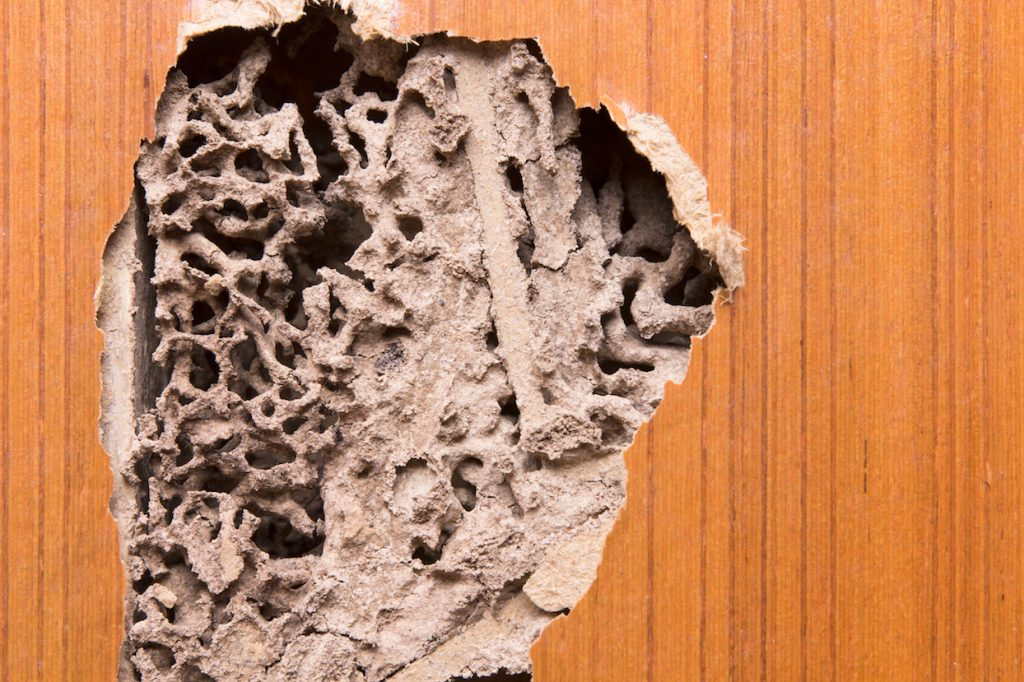 Termite damage on wooden wall